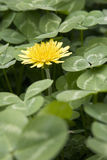 Yellow flower in green background. A single yellow flower in green leaves background Royalty Free Stock Photos