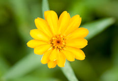 Yellow Flower on green background Royalty Free Stock Images