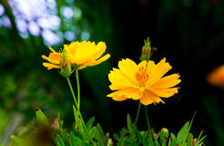 Yellow Flower and Green background Royalty Free Stock Image