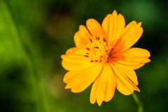 Yellow Flower. With green background in garden Stock Photo