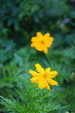 Yellow flower on green background Royalty Free Stock Photography