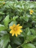 Yellow flower in green garden Royalty Free Stock Photos