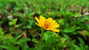 Yellow Flower in The Green Garden. The isolation of flower in the natural garden royalty free stock image