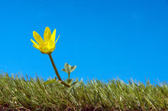 Yellow flower on green grass Royalty Free Stock Images
