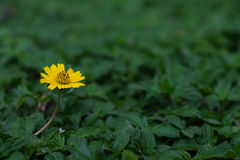 Yellow flower among green grass. Focus yellow flower among green grass stock photos