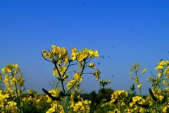 The rapeseed stock images