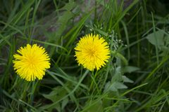 Yellow flower and green leaf Stock Image