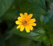 Yellow flower with green leaf background Stock Photography