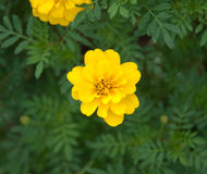 Yellow flower with green leaf background Royalty Free Stock Photos