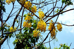 Yellow flower with green leaf and blue sky. In Myanmar Royalty Free Stock Photography