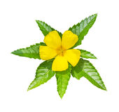 Yellow flower with green leaf royalty free stock photography