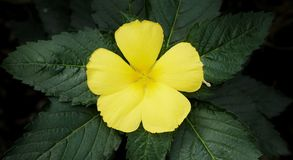 Yellow flower with green leaf, vignette effect. Yellow flower with green leaf Stock Photos