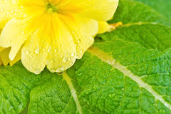 Yellow flower green leaves Stock Photos