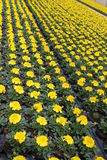Cultivation of yellow marigold. In the greenhouse stock photos