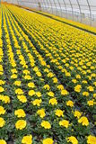 Cultivation of yellow marigold. In the greenhouse stock photo
