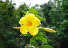 Yellow flower on the green leaves HD wallpaper background. With the blured background stock image