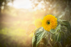 Yellow flower with green leaves on natural sunlight background Stock Photos