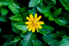 Yellow flower on green natural background. Top view of yellow flower on green natural background Stock Image