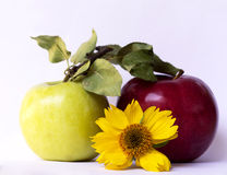 Yellow flower, green and red apple Royalty Free Stock Photography