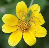 Yellow flower and green spider Stock Photos