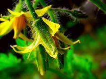 Green and Yellow Flower. Yellow flower with green which means two meanings. One is nature and another is flower attract Royalty Free Stock Image