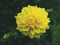 Yellow Flower. Greenery with yellow flower with yellow petals royalty free stock photo