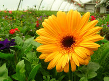 Yellow Flower in Greenhouse stock images