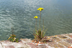 Yellow flower grew on stone. Yellow flower has grown on the rock on background of water Royalty Free Stock Photos