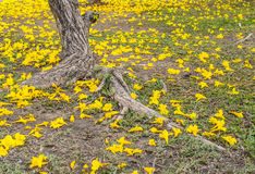 Yellow flower on the ground. Yellow flower (silver trumpet tree) fall on the ground Stock Photography
