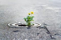 Yellow flower growing in broken metal pipe on street. Soft focus royalty free stock images