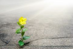 Yellow flower growing on crack street, hope concept. Yellow flower, lovely little young plant growing on crack street, hope concept stock photos