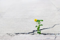Yellow flower growing on crack street, soft focus. Blank text Stock Image