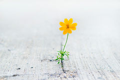 Yellow flower growing on crack street, soft focus. Vibrant yellow flower growing on crack street, soft focus royalty free stock photo
