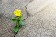 Yellow flower growing on crack street, hope concept. Yellow flower growing on crack street, the symbolic for hope concept royalty free stock photos
