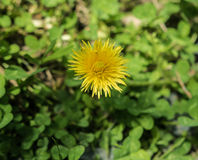 Yellow flower. Yellow flower growing on top of three-leaf clovers growing over the ground Royalty Free Stock Photo