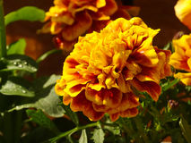 Yellow flower. Grows on a balcony in one of the apartments of Moscow Royalty Free Stock Images