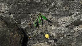 A yellow flower grows from a rock. A yellow flower grows from a rock Royalty Free Stock Images