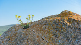 Yellow flower grows on rock Royalty Free Stock Photos