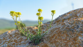 Yellow flower grows in rock closeup Royalty Free Stock Images