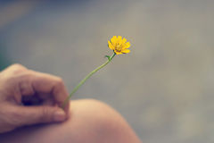 Yellow flower in hand on leg, Vintage bacground and tone. Soft focus Stock Image