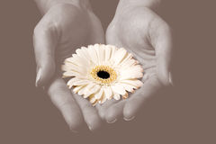 Yellow flower in hands Stock Photo