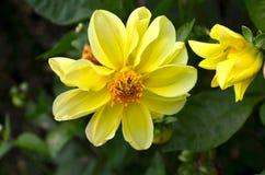 Yellow flower Stock Photos