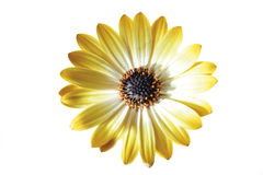 Yellow flower head of African daisy Royalty Free Stock Photos