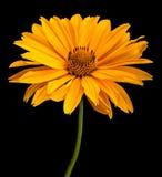 Yellow flower head on black Stock Photography