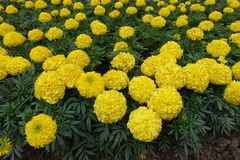 Yellow flowerheads of marigold in the flowerbed Stock Photography