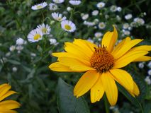 Yellow flower of heliopsis royalty free stock images
