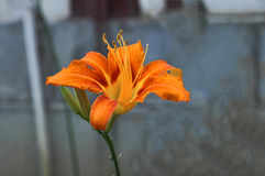 The yellow flower of hemerocallis Stock Photos