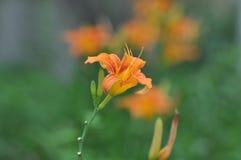 The yellow flower of hemerocallis Royalty Free Stock Image
