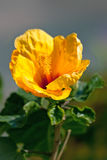 Yellow flower Hibiscus. Close up Stock Photography