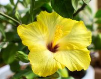 Yellow flower of hibiscus plant stock images